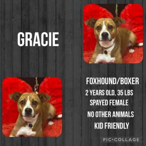 Meet Gracie a 2 year old 35lb female BoxerFoxhound mixGracie is fully vaccinated dewormed s
