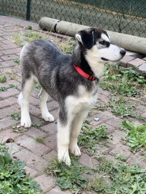 Mo - 4 month old Husky pup Needs an active home with a yard Sweet Mo is such a wonderful