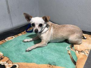 I1353849 Chihuahua Dog