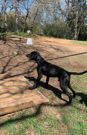 Maui is a one-year old sweetheart He loves to run and play and is good with other dogs more his