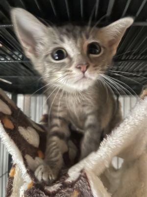 Boa Domestic Short Hair Cat