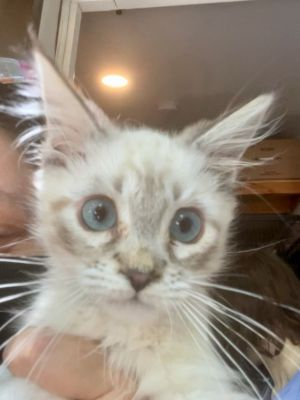 Sherman Domestic Short Hair Cat