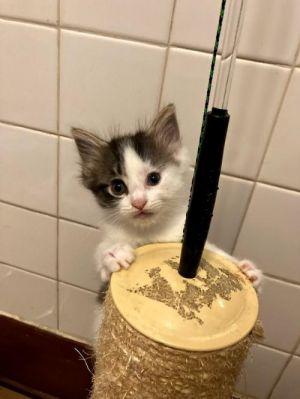 RUE Munchkin Cat