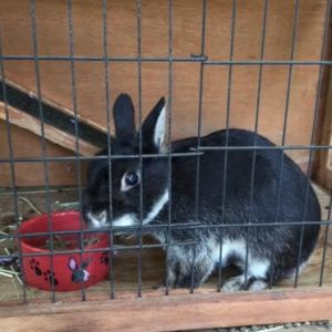 Button is a sweet female bunny who was adopted from a pet store  became a family pet She is
