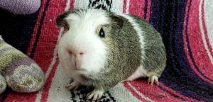 GUMPY Guinea Pig Small & Furry