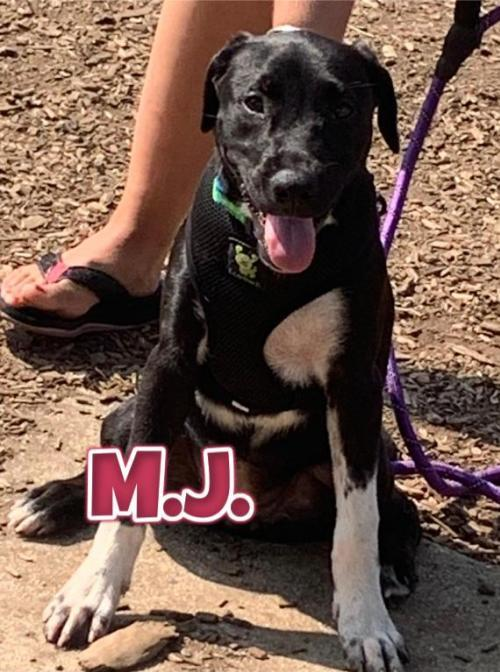 MJ, an adopted Labrador Retriever Mix in Rockville, MD_image-1