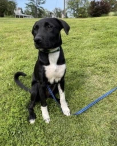 MJ, an adopted Labrador Retriever Mix in Rockville, MD_image-2