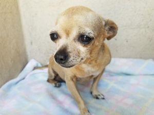I1353880 Chihuahua Dog