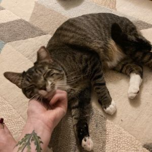 Manny is what we fondly call an oversized kitten especially because of his huge eyes He loves to p