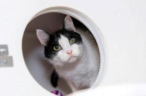 Oreo Domestic Short Hair Cat
