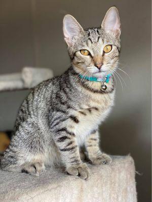 LEO Domestic Short Hair Cat