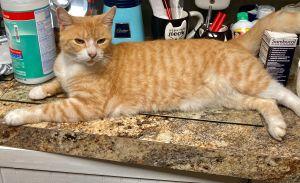 LUCKY Domestic Short Hair Cat