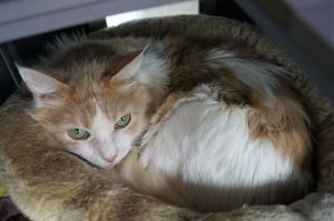 Nemo is a 8 year old long haired orange and white cat He came in with his brother Bruce when