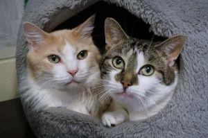 Nemo Domestic Long Hair Cat