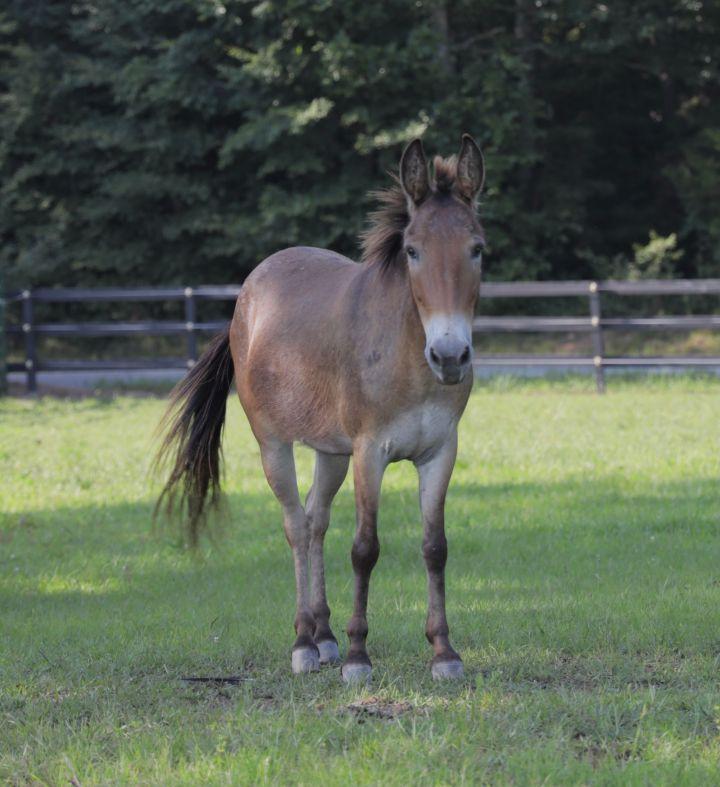 Bo, an adoptable Mule in Hohenwald , TN_image-1
