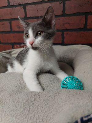 Magic Domestic Short Hair Cat