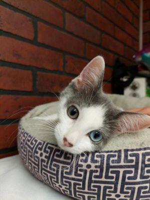 Mystic Domestic Short Hair Cat