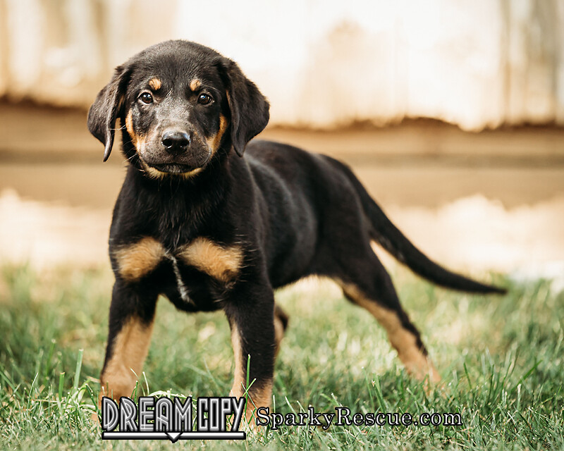 Lab Mix Puppies detail page