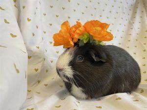 ESTEBAN Guinea Pig Small & Furry