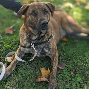Neo is a gorgeous 2-3 year young brindle boy that was rescued from a high kill shelter in Alabama H
