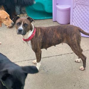Brysyn is a brindle girl who came into an Alabama high kill shelter as a stray She was so close