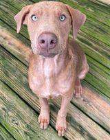 Holliday is a six month old Weimaranerhound mixour best guess with beautiful blue eyes and a cinn