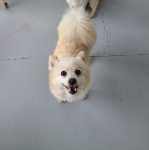 Dannie Pomeranian Dog
