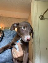 Meet pretty Cady She an australian shepherdlabrator mix Cady is about 8-10 weeks old Cady was ta
