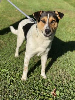 Chunk is a handsome two year old tricolor hound mix who weighs 35 lbs He is a quiet boy who