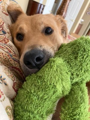 This happy-go-lucky Golden Retriever mix is making the most of every day after winning a battle with