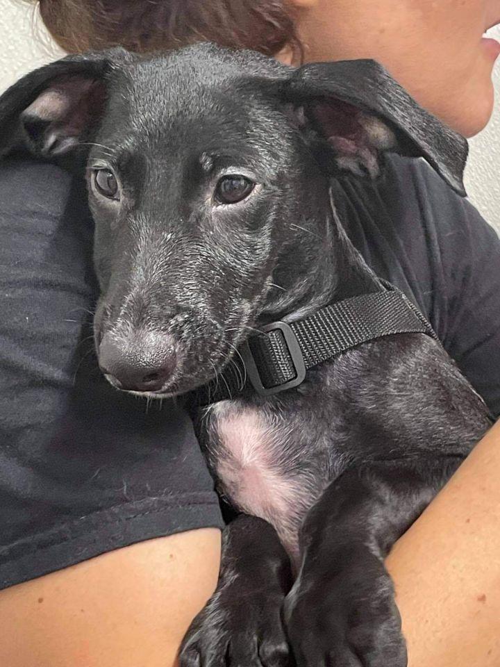 Randall PR Lab Pup 4