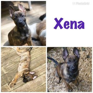 Xena is ready to start the search for her perfect forever home Xena is a brave headstrong puppy wi