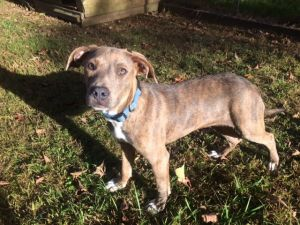Sheba - Fostered in CT