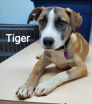 Tiger came to use as an owner surrender and was extremely underweight at the time The boy is now a