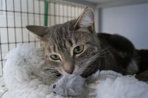 Ziyah is a one year old short haired Tabby spayed female For more information on Ziyah call AWS at