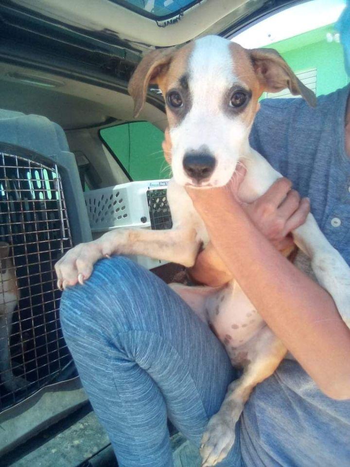 Marci PR Beagle Pup 2