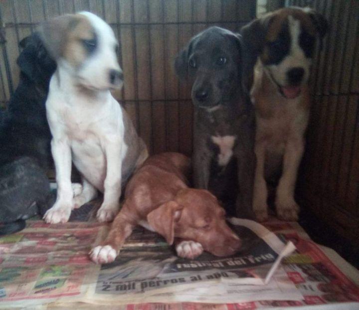 Marci PR Beagle Pup 3