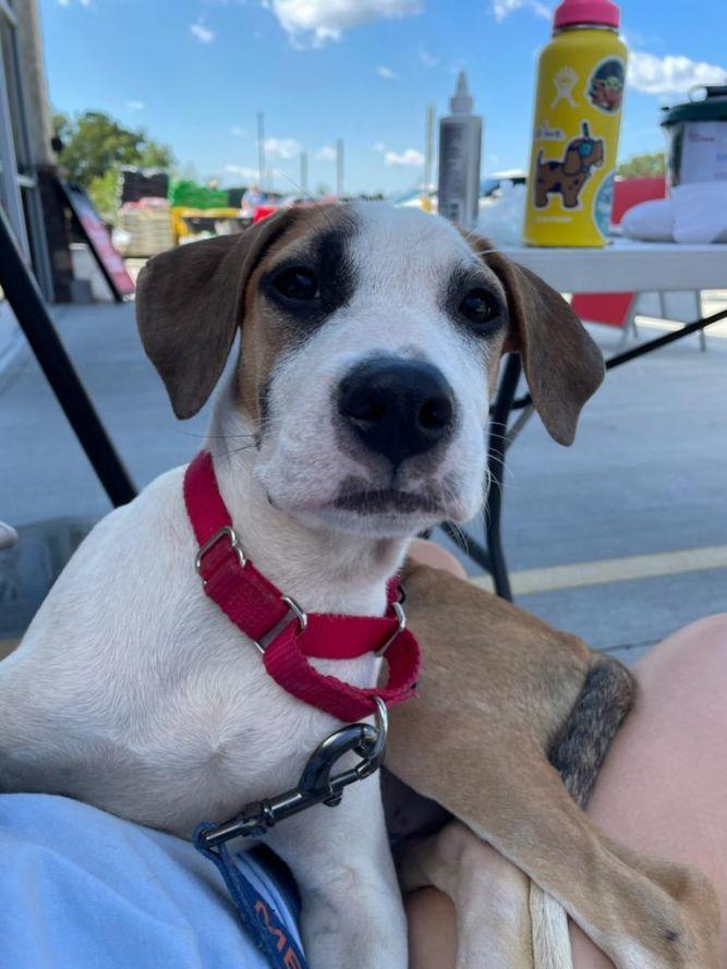 Marci PR Beagle Pup