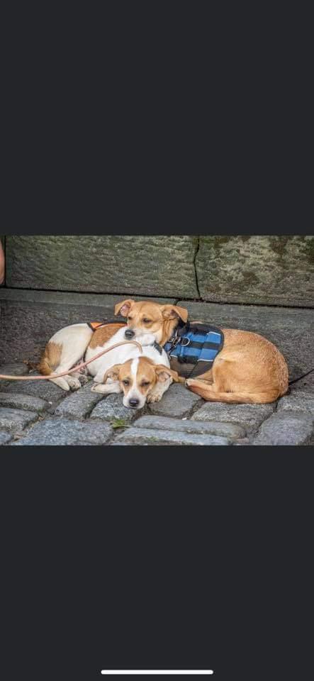 Marci PR Beagle Pup 4