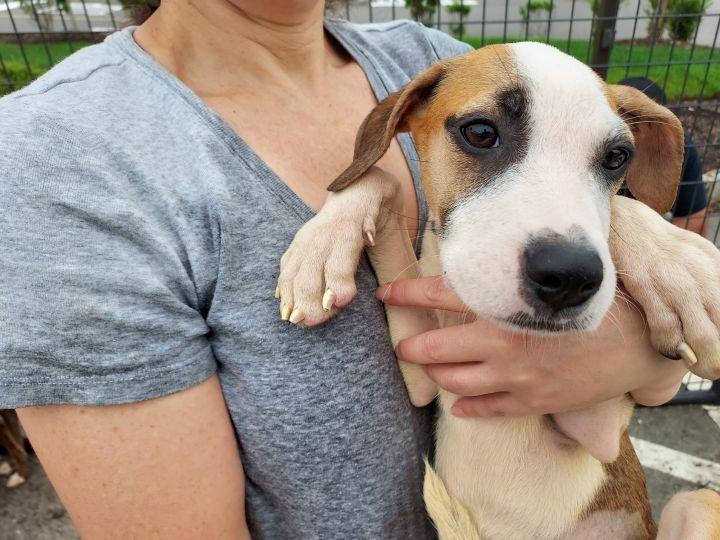Marci PR Beagle Pup 6
