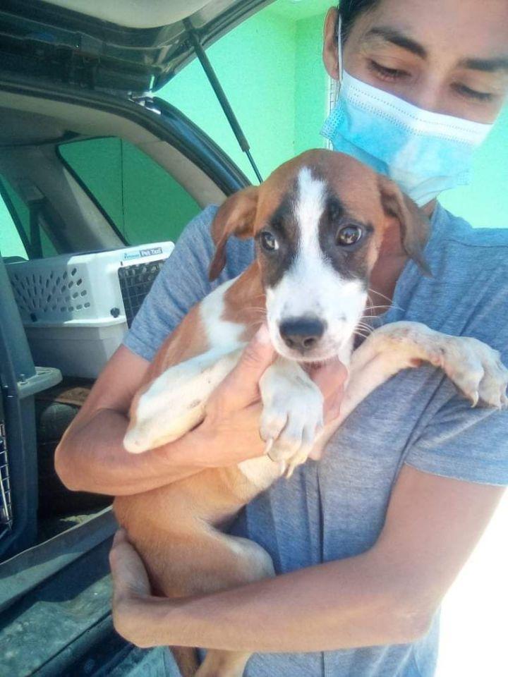 Bandito PR Beagle 1