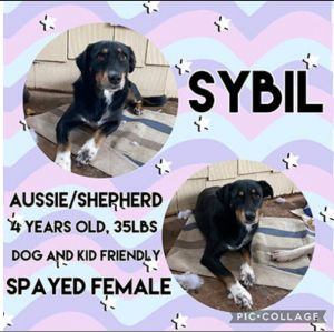 Meet Sybil a 4 year old 35lb female Aussie mix She is dog and kid friendly She will come up-to