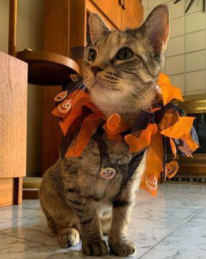 Buttercup Calico Cat