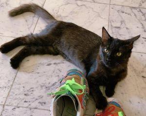Phoebe Domestic Medium Hair Cat