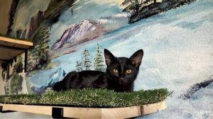 Buttons Domestic Short Hair Cat