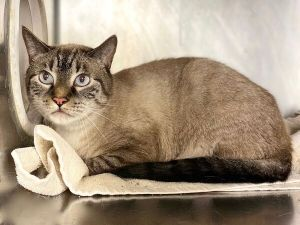 Primary Color Tabby Point Weight 118lbs Age 5yrs 1mths 3wks Animal has been Neutered