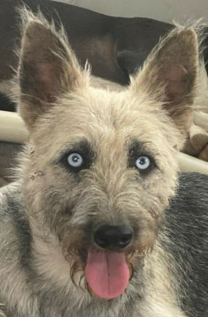 Lara is a one year-old Wirehaired Terrier mix rescued from Puerto Rico She weighs approximately thir