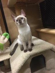 I am approx 4 months old I am sweet and playful and like to talk whine demand Indoor only No