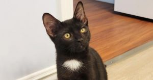 Meet Pepper Pepper is a talkative curious and shy yet playful kitten He likes to climb and explor