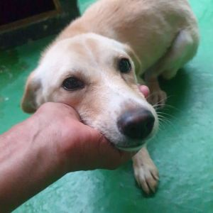Betty Jindo Dog